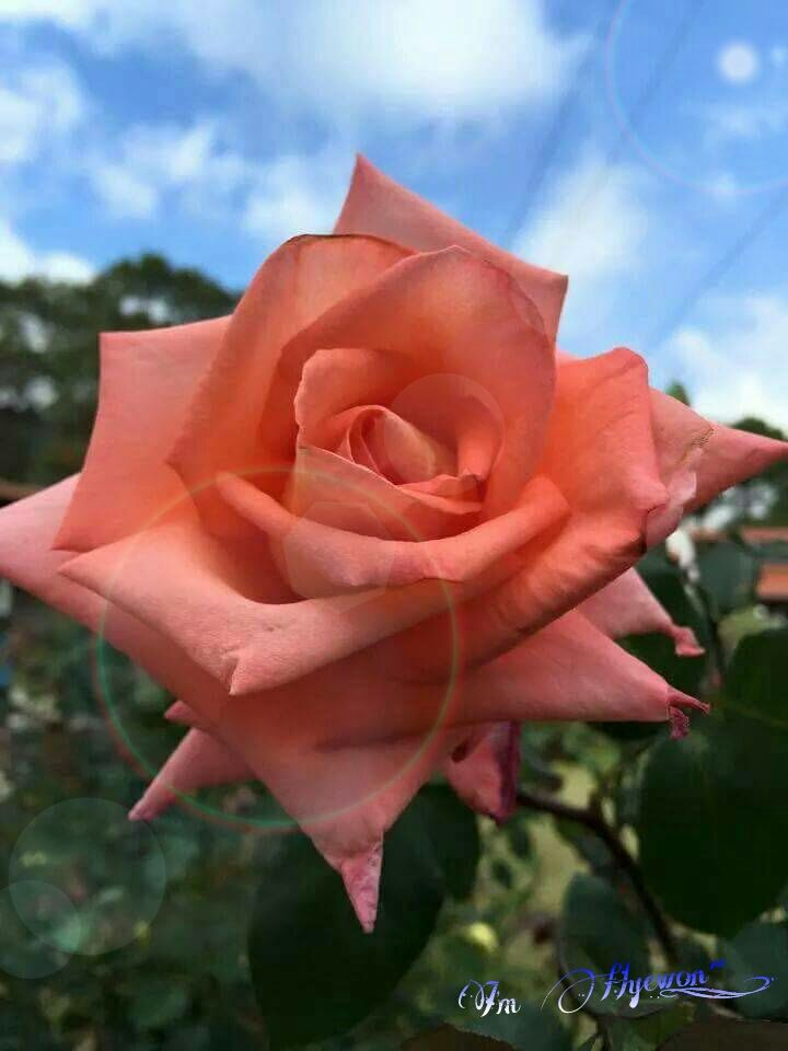 good morning my best friends happy sunday rose for