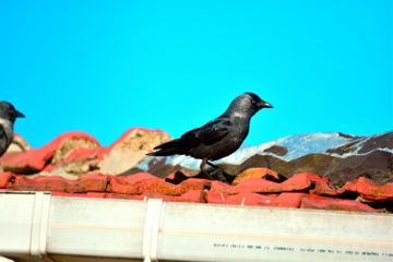 bird karga crow