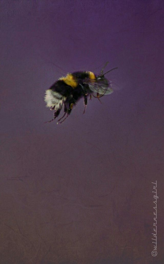 pictures of bees