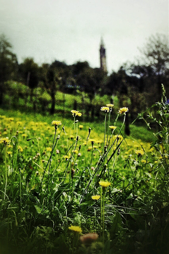 My land. Landscape with yellow wildflowers #myland #colorful #flower #emotions #nature #oldphoto #belltower #wheniwasyoung #spring #bokeh #vintage