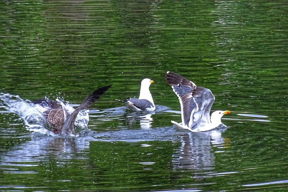 I honestly didn't know that seagulls sat on the water like this, taken with Sony dsc hx60v