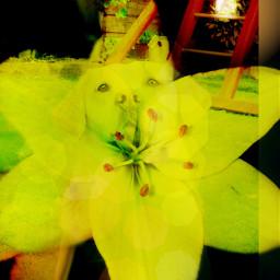 likeforlike repostforrepost flower dog labradour