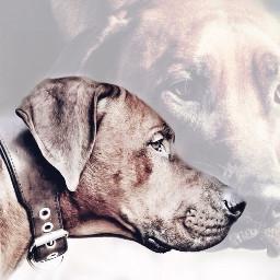 overlay dogs doubleexposure animalphotography pictureinpicture