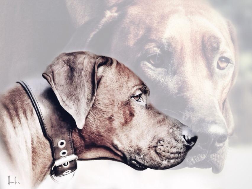 ... my creation for  #overlay  🐾 #dogs  #doubleexposure  #animalphotography  #pictureinpicture  #ridgeback #mydog