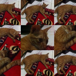 pat cat indonesian indonesia