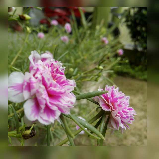 When I captured pinkness in the lawn :)   #colorful #cute #flower #spring #summer #love #photography #nature