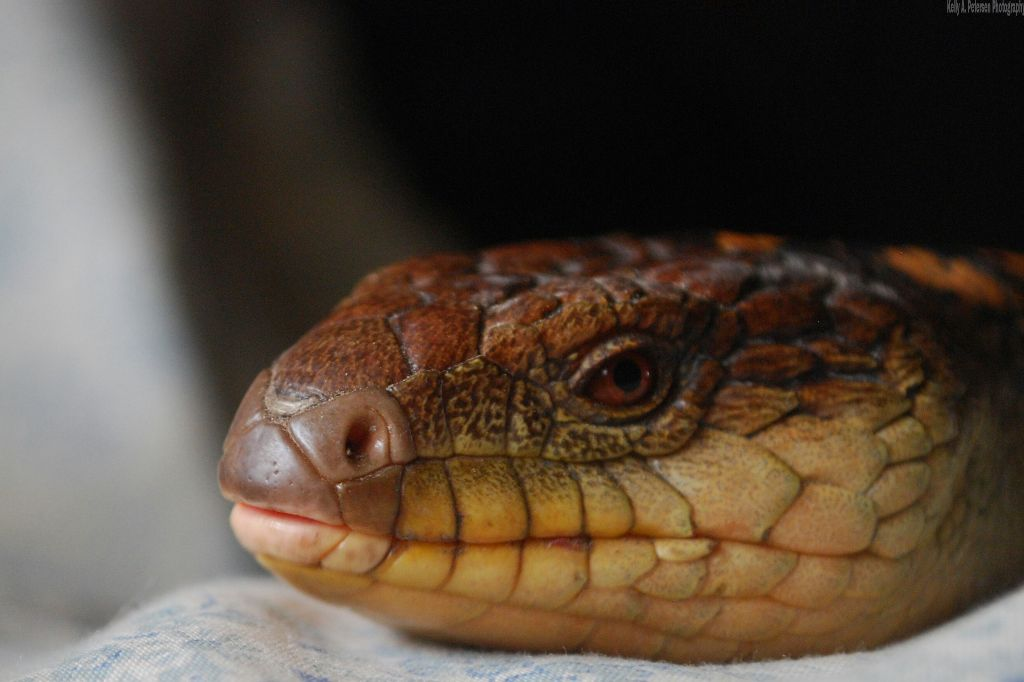 northern blue tongue lizard skink JJ rescue reptile wil